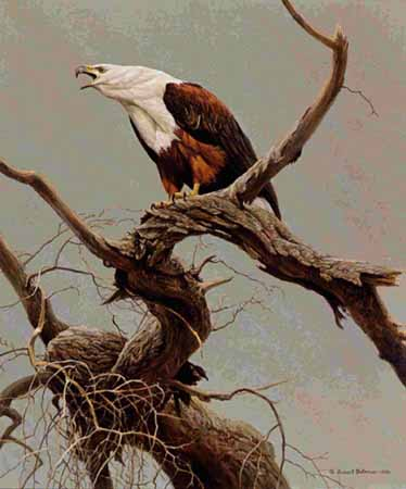 African Fish Eagle- Signed By The Artist								 – Paper Lithograph – Limited Edition – 950 S/N – 20 1/4 x 17
