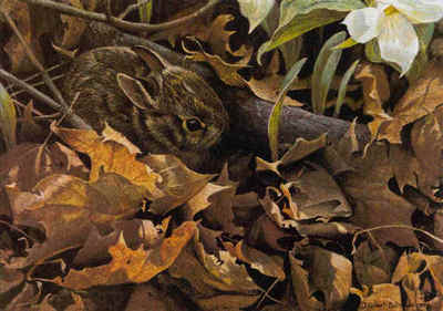Among The Leaves – Cottontail- Signed By The Artist – CanvasGiclee – Limited Edition – 76A/P – 12x17 –