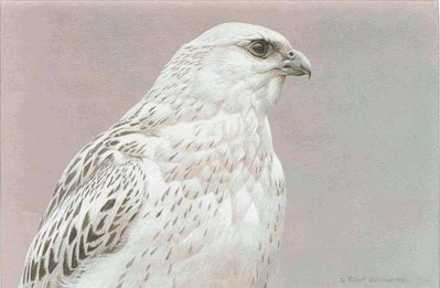 Arctic Portrait – White Gyrfalcon- Signed By The Artist – PaperLithograph – Limited Edition – 950S/N – 12 1/4x17 3/4