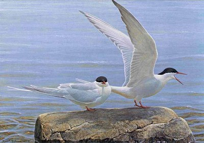 Arctic Tern Pair- Signed By The Artist – PaperLithograph – Limited Edition – 950S/N – 13 3/4x19