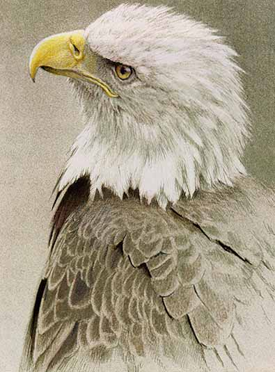 Bald Eagle- Signed By The Artist								 – Paper Lithograph – Limited Edition – 120 S/N – 11 3/4 x 8 7/8 –