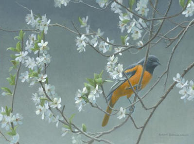 Baltimore Oriole And Plum Blossom- Signed By The Artist								 – Canvas Giclee – Limited Edition – 50 A/P – 12 x 16
