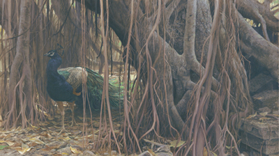 Banyan Walk – Peacock- Signed By The Artist								 – Canvas Giclee – Limited Edition – 180 A/P – 24 x 42