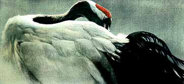 Ceremonial Pose – Red-Crowned Crane- Signed By The Artist								 – Paper Lithograph – Limited Edition – 290 S/N – 15 3/4 x 33 7/8