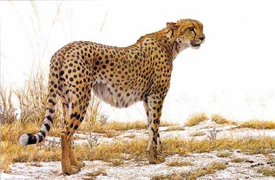Cheetah Profile- Signed By The Artist								 – Paper Lithograph – Limited Edition – 950 S/N – 20 x 30 1/2
