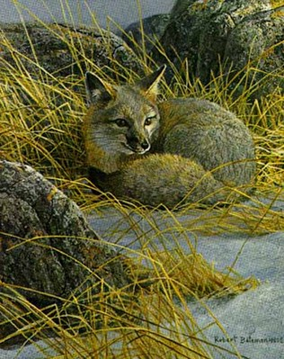 Curled Up – Swift Fox- Signed By The Artist – PaperLithograph – Limited Edition – 76A/P – 11 5/8x9 3/8 –