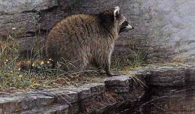 Distant Danger – Raccoon- Signed By The Artist – PaperLithograph – Limited Edition – 1600S/N – 9 3/4x16 1/4