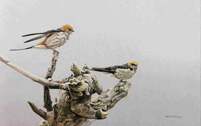 Driftwood Perch – Striped Swallows- Signed By The Artist – PaperLithograph – Limited Edition – 950S/N – 13 1/2x20