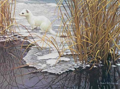 Edge Of The Ice – Ermine- Signed By The Artist – PaperLithograph – Limited Edition – 56A/P – 11 7/8x16 –