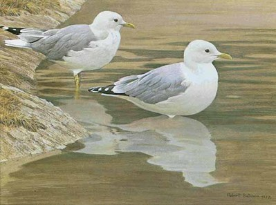 Entering The Water – Common Gulls- Signed By The Artist – PaperLithograph – Limited Edition – 950S/N – 14x19