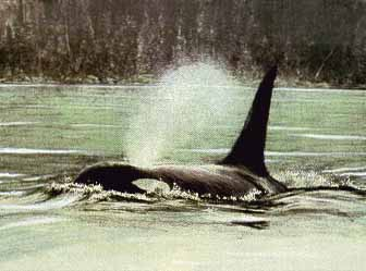 Fluid Power – Orca- Signed By The Artist – PaperLithograph – Limited Edition – 23A/P – 22x30