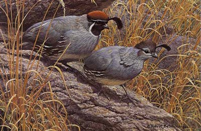 Gambel's Quail Pair- Signed By The Artist – PaperLithograph – Limited Edition – 56A/P – 7 1/4x10 7/8 –