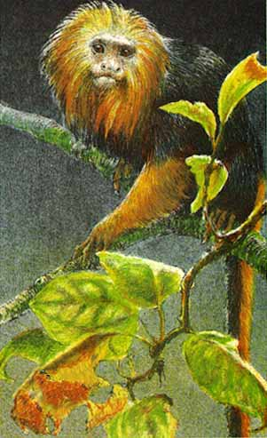 Golden-Headed Lion Tamarin- Signed By The Artist								 – Paper Lithograph – Limited Edition – 290 S/N – 8 x 5