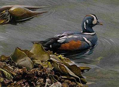 Harlequin Duck – Bull Kelp- Signed By The Artist								 – Paper Lithograph – Limited Edition – 4595 S/N – 6 1/2 x 9