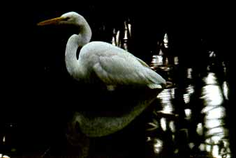 Mangrove Shadow – Common Egret- Signed By The Artist – PaperLithograph – Limited Edition – 1250S/N – 19 1/4x26 3/4 –