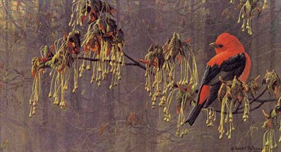 May Maple – Scarlet Tanager- Signed By The Artist – PaperLithograph – Limited Edition – 950S/N – 8 1/2x15 1/4