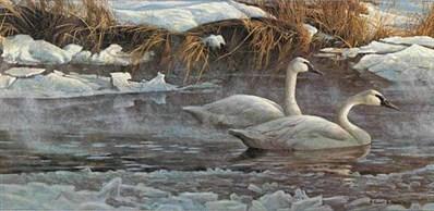 Morning On The River – Trumpeter Swans- Signed By The Artist – PaperLithograph – Limited Edition – 950S/N – 10 1/2x20