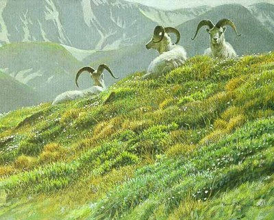 Mountain Meadow – Dall Sheep- Signed By The Artist								 – Paper Lithograph – Limited Edition – 76 A/P – 12 1/4 x 15 3/8
