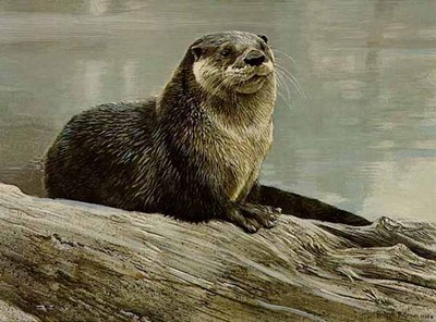 Otter Study- Signed By The Artist – PaperLithograph – Limited Edition – 950S/N – 14 1/4x19