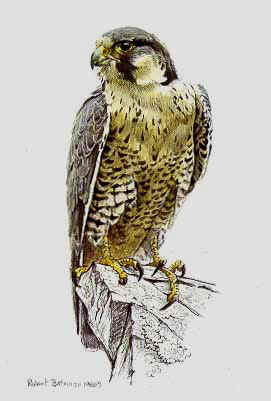 Peregrine Falcon- Signed By The Artist – PaperLithograph – Limited Edition – 950S/N – 8 5/8x5 1/2