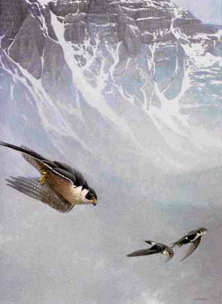 Peregrine Falcon And White-Throated Swifts- Signed By The Artist – PaperLithograph – Limited Edition – 950S/N – 26 3/8x20