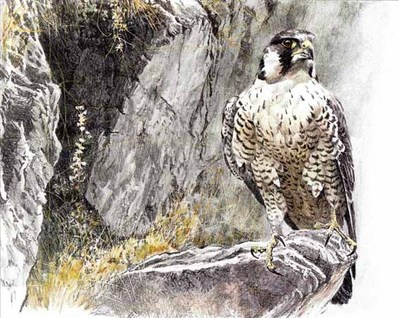 Peregrine Falcon On The Cliff- Signed By The Artist – PaperLithograph – Limited Edition – 525S/N – 11 7/8x16