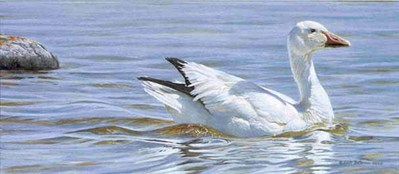 Proud Swimmer – Snow Goose- Signed By The Artist – PaperLithograph – Limited Edition – 950S/N – 9 3/8x20 1/2