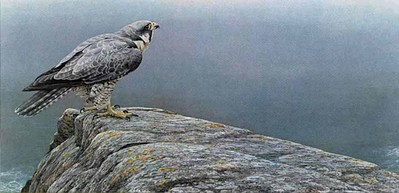 Ready For Flight- Peregrine Falcon- Signed By The Artist – PaperLithograph – Limited Edition – 950S/N – 13 1/2x25