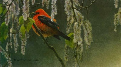 Scarlet Tanager And Alder Blossoms- Signed By The Artist – PaperLithograph – Limited Edition – 1500S/N – 6 1/4x11 3/8