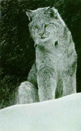 Snowy Range – Canada Lynx- Signed By The Artist								 – Paper Lithograph – Limited Edition – 350 S/N – 14 x 9