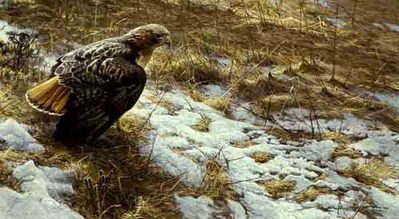 Spring Thaw – Red-Tailed Hawk- Signed By The Artist								 – Paper Lithograph – Limited Edition – 950 S/N – 18 x 32 1/2
