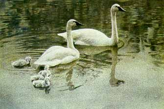 Trumpeter Swan Family- Signed By The Artist – PaperLithograph – Limited Edition – 290S/N – 20x29 3/4