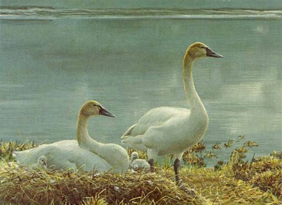 Wide Horizon – Tundra Swans- Signed By The Artist – PaperLithograph – Limited Edition – S/N – 6 1/2x9