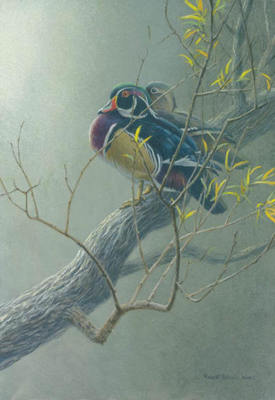 Wood Duck Pair In Willow- Signed By The Artist								 – Paper Lithograph – Limited Edition – 76 A/P – 13 x 9