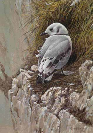 Young Kittiwake- Signed By The Artist – PaperLithograph – Limited Edition – 950S/N – 15 1/8x11