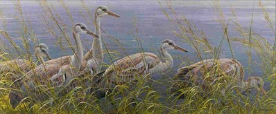 Young Sandhill Cranes- Signed By The Artist								 – Paper Lithograph – Limited Edition – 950 S/N – 14 1/8 x 33 1/4