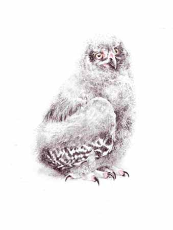 Young Snowy Owl- Signed By The Artist – PaperLithograph – Limited Edition – 950S/N – 12 1/4x9 7/8