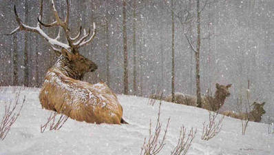 Evening Snowfall – American Elk- Signed By The Artist								 – Canvas Giclee – Limited Edition – 99 S/N – 28 x 48