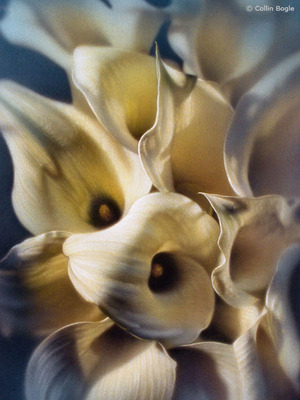 Calla Lilies- Signed By The Artist – CanvasGiclee – Limited Edition – A/P – 12x9