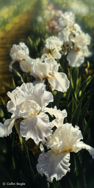 Iris Garden- Signed By The Artist – CanvasGiclee – Limited Edition – A/P – 36x18
