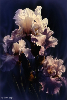 Purple Iris- Signed By The Artist – CanvasGiclee – Limited Edition – A/P – 30x20