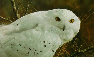 Amber Gaze – Snowy Owl- Signed By The Artist								 – Paper Lithograph – Limited Edition – 1950 S/N – 10 1/2 x 17 1/4
