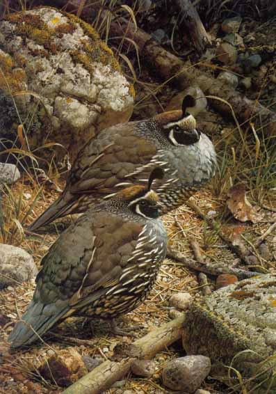 California Quail- Signed By The Artist – PaperLithograph – Limited Edition – 950S/N – 19 1/4x13 5/8 –