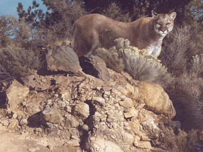 Cliff Dweller – Cougar- Signed By The Artist – PaperLithograph – Limited Edition – 950S/N – 22 3/4x30 3/8