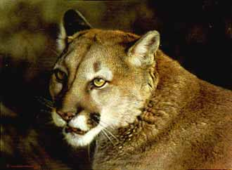 Close-Up Cougar- Signed By The Artist – PaperLithograph – Limited Edition – 1250S/N – 8 5/8x11 1/2