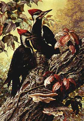 Forest Carpenter – Pileated Woodpecker- Signed By The Artist – PaperLithograph – Limited Edition – 1950S/N – 25 3/4x18