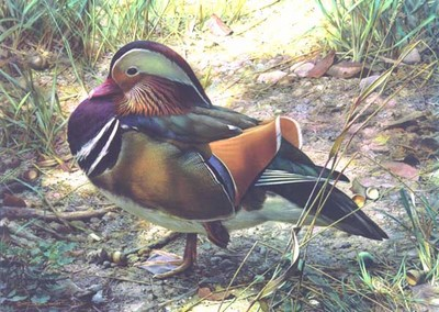 Mandarin Drake- Signed By The Artist – PaperLithograph – Limited Edition – 76A/P – 14 1/4x20