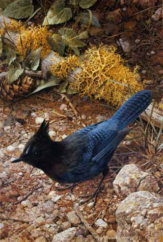 Steller's Jay- Signed By The Artist – PaperLithograph – Limited Edition – 1250S/N – 16 7/8x11 3/8