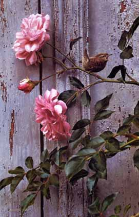 Summer Roses – Winter Wren- Signed By The Artist – CanvasGiclee – Limited Edition – 195S/N – 31x20