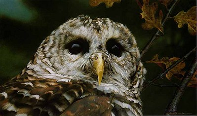 Up Close – Barred Owl- Signed By The Artist								 – Paper Lithograph – Limited Edition – 76 A/P – 10 1/4 x 17 1/4